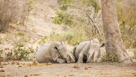african white rhinoceros sleeping in the bush