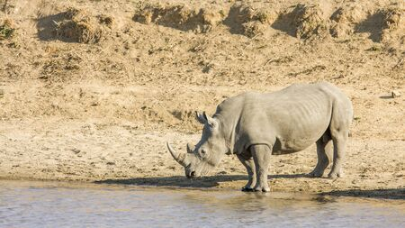 vertical format: african white rhinoceros drinking in the riverbank