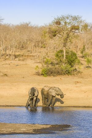 vertical format: two african bush elephants in the riverbank, in Kruger