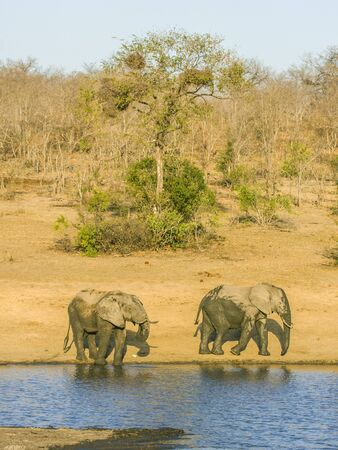 two african bush elephants in the riverbank, in Kruger