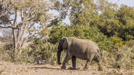 african bush elephant walking in savannah Stock Photo