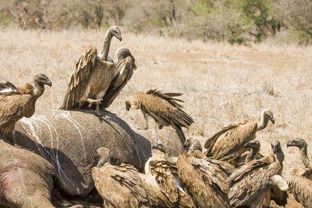 karkas: gieren eten van een dode hippo in Kruger Park
