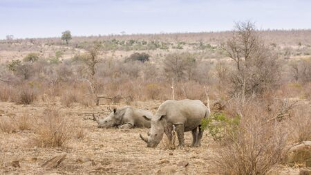 african white rhinoceros in Kruger Park Stock Photo