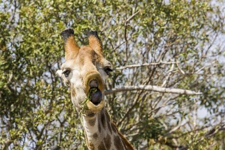 funny giraffe eating acacia branches in Kruger Park