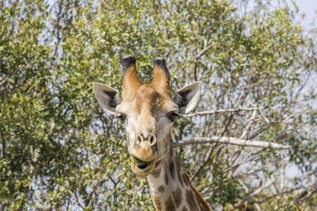 wild giraffe funny grimacing and eating acacia branches
