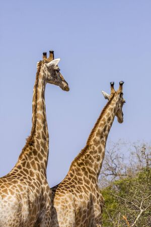 two giraffes wild in mating time, Kruger Park, South Africa Stock Photo