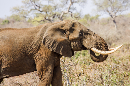 poaching: african elephant standing in savannah bush in Kruger park