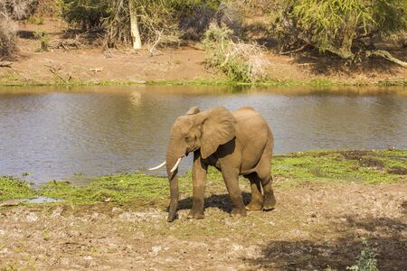 african bush elephant walking in the riverbank in South Africa