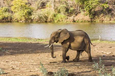 african bush elephant walking in the riverbank, Kruger Park