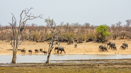 group of african elephants in the bush riverbank, Kruger Park