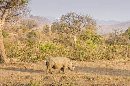 african white rhinoceros walking in savannah Stock Photo