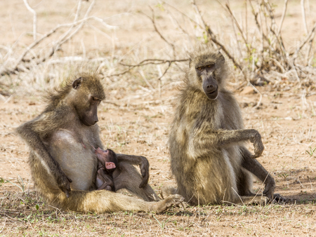 family of baboons in the bush 스톡 콘텐츠