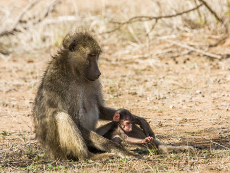 mother and baby baboons in the bush, Kruger Park 스톡 콘텐츠