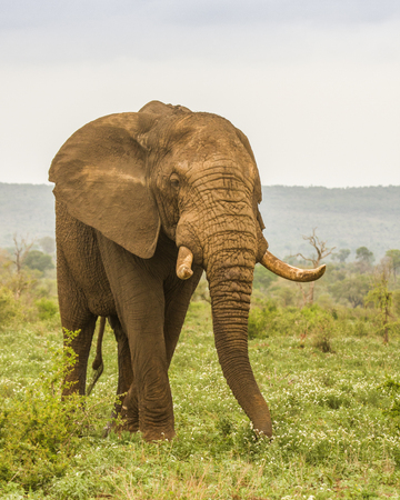 african bush elephant walking in savannah, wide angle 스톡 콘텐츠