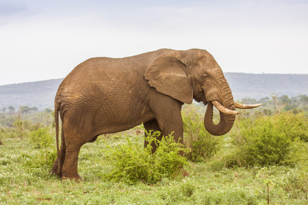 african bush elephant standing in a green savannah 스톡 콘텐츠