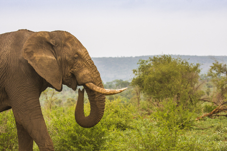 african bush elephant walking in a green savannah in Kruger 스톡 콘텐츠