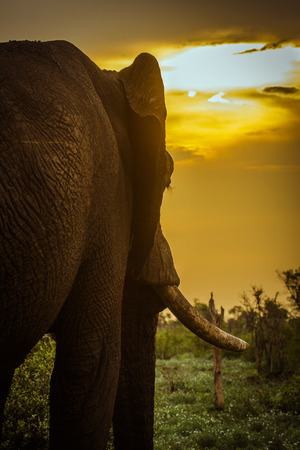 african bush elephant and sunset in savannah