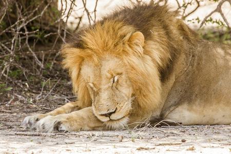 portrait of wild male lion resting in Kruger Park Reklamní fotografie - 105063196