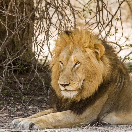 portrait of wild male lion resting in Kruger Park Reklamní fotografie - 105063008