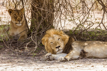 Couple of lions resting in the bush, Kruger, South Africa Reklamní fotografie - 105063003