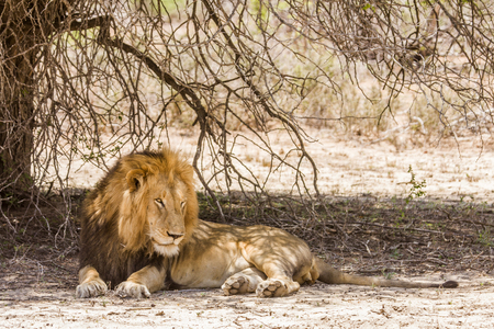 portrait of a wild male lion resting in the bush