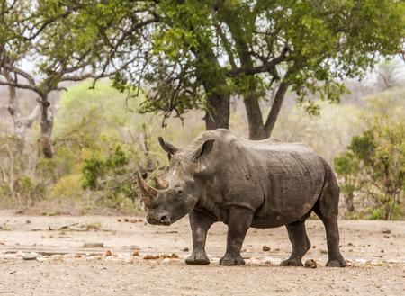 african white rhinoceros standing in savannah