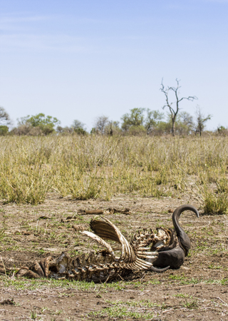 skeleton of a dead buffalo in Kruger Park, South Africa 스톡 콘텐츠