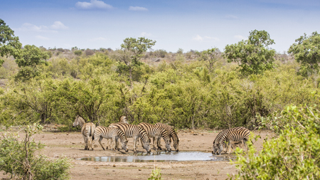 group of zebras drinking at a pond in Kruger park 스톡 콘텐츠