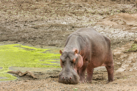 Wild hippo grazing in the riverbank in Kruger Park