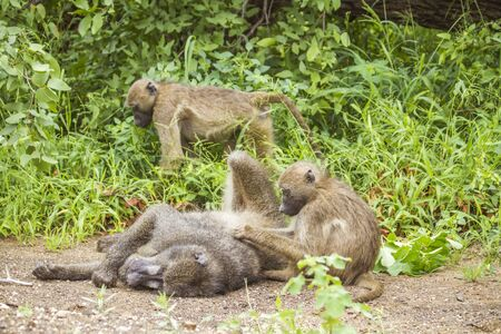 chacma baboons playing in the bush in Kruger park Stock Photo