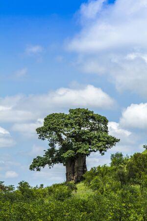 baobab tree in a green vegetation in Kruger Park, South Africa