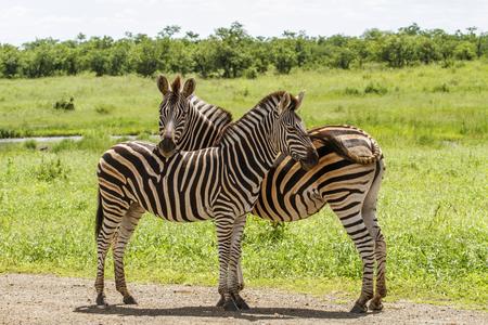 wild zebras Having a tender moment in Kruger Park Reklamní fotografie - 105061819