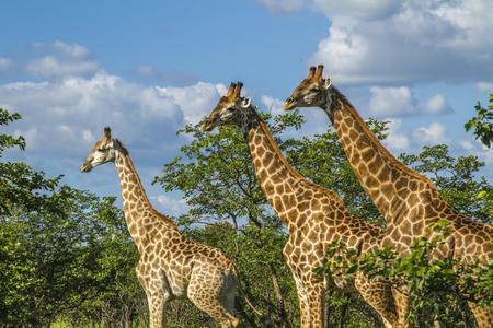 group of wild giraffes standing in savannah in Kruger Park Reklamní fotografie - 105061820
