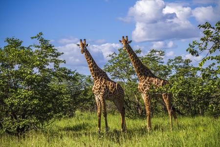 group of wild giraffes standing in savannah in Kruger Park Reklamní fotografie - 105061815
