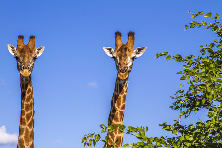 two giraffes wild in blue background in Kruger Park Stock Photo