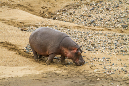 Wild hippo grazing in the riverbank in Kruger Park, South Africa