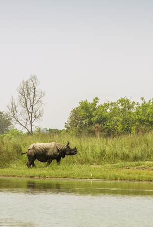 Greater one horned rhinoceros in the riverbank, Nepal