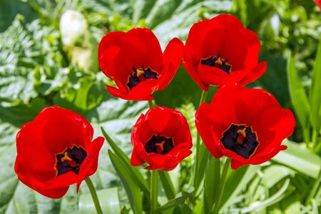 common poppy flower in a garden, France Reklamní fotografie - 100346134