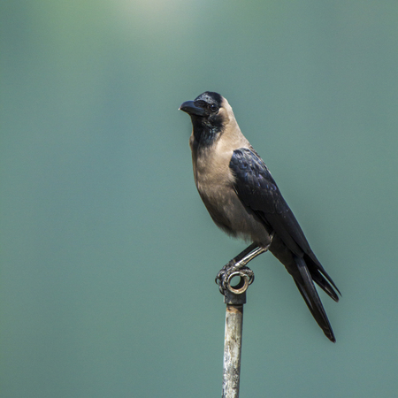 house crow standing on a pole, Nepal