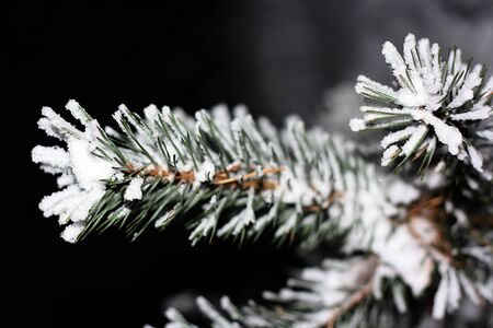 Pine branch with ice crystals on the needles Stock Photo - 9233649