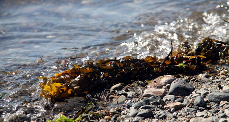 wrack: Chunk of seaweed splashing around in the waterfront on a sunny day
