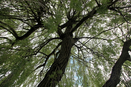 salix: Big detailed salix tree captured from inside Stock Photo