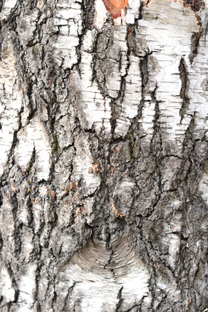 Abstract image texture for designers with bright peace of bark with knots