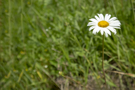Abstract image texture for designers with flower of white daisywheel in the garden grass