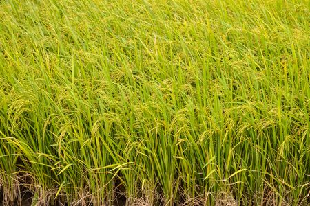 Paddy green Rice Fields in Thailand. photo