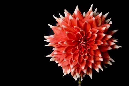 Beautiful red daliha isolated on a black background photo