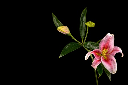 water lilly: Close-up of Pink Stargazer lily flower with two buds isolated on black Stock Photo