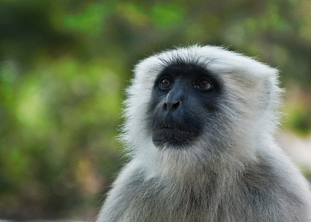 constituting: Gray langurs or Hanuman langurs,  are a group of Old World monkeys constituting the entirety of the genus Semnopithecus  Also called leaf monkeys