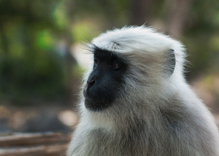 semnopithecus: Gray langurs or Hanuman langurs,  are a group of Old World monkeys constituting the entirety of the genus Semnopithecus  Also called leaf monkeys