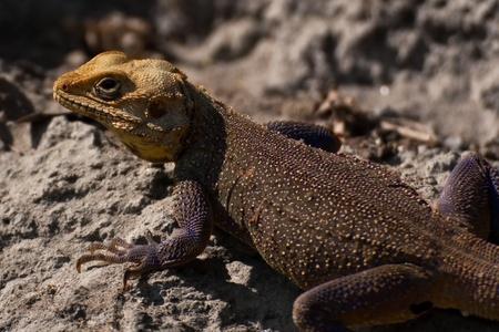bearded dragon lizard: Bearded Dragon Lizard in the himalayas Stock Photo